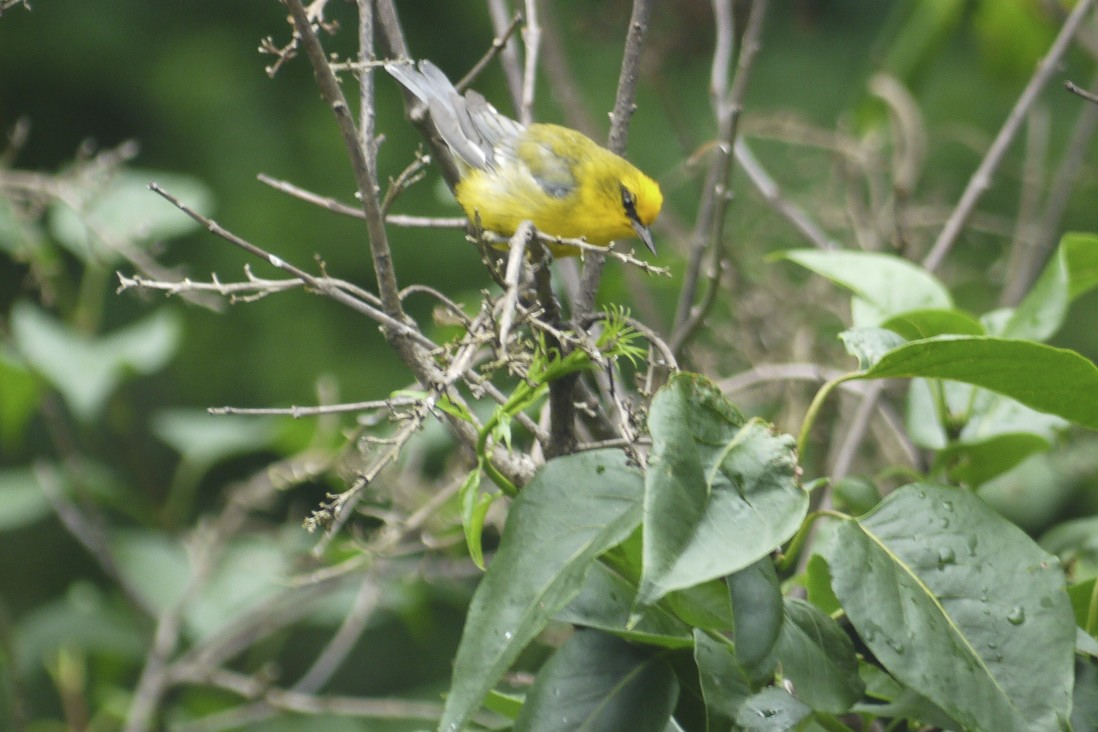 We noticed this blue-winged warbler in our yard for over a week, but he moves so fast and is so small, it was really tough trying to get any picture of him.